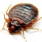 Bed bug Control Manchester