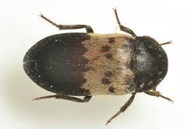 Larder Beetle Control Manchester