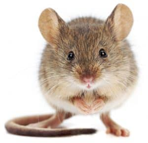 mouse pest control manchester