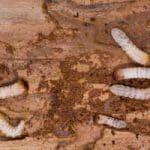 woodworm control